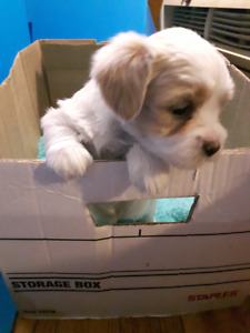 Small Dogs For Sale Guelph Ontario