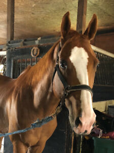 Gelding for companion/ Light riding