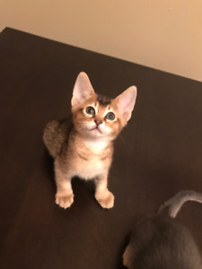 Abyssinian kittens Gorgeous ! (ocicats, abyssinians, bengals)