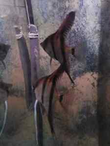couple Ange scalaire angel fish red back wild cross