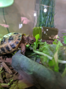 Young Russian tortoise