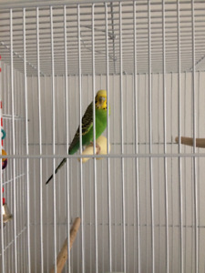 Budgie Bird for rehoming