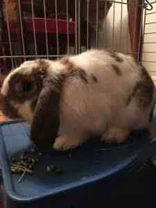 Small male holland lop rabbit for sale for $50!