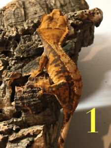 Crested Gecko | Kijiji in London  - Buy, Sell & Save with