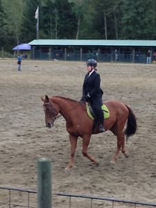 15 year old Appendix/Clydesdale Gelding