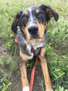 Catahoula | Kijiji in Alberta  - Buy, Sell & Save with Canada's #1