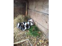 Rabbits £10 each