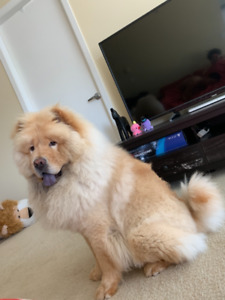 One years old CHOW CHOW find new home