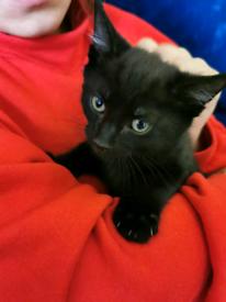 Female black kitten 3 months old.