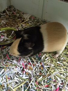 Short haired guinea pig for adoption