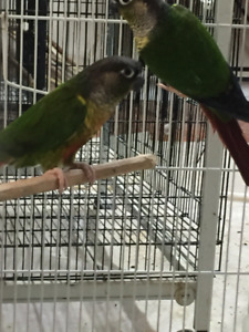 Breeding Conures
