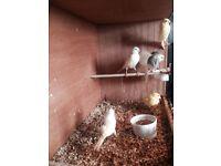 White canarys