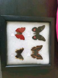 Framed butterflys