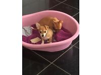 Jackawawa puppy's **ready now** 2 boys left