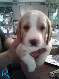 Beagles for sale!     only 2 left