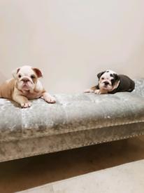 Kc Bulldog puppies £2000