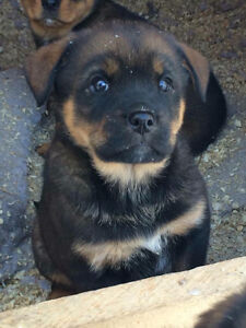 Rottweiler Cross pups