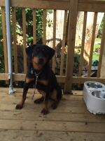 Nice friendly young Rottweiler looking home