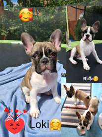 ***Two Adorable puppies*** Blue French Bulldog