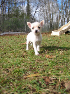 Chihuahua Puppies First Shots Vet Checked Health Record Dewormed