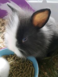 Beautiful Blue Eye Lionhead Bunny Rabbits READY NOW
