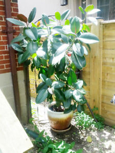 3 Large Ficus plants in pots (or without) - please read ad