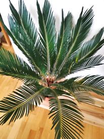 Stunning SAGO PALM cycas revoluta tree houseplant indoor plant