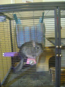 Cute standard Grey Female Chinchilla looking for a new home.