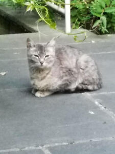 Lost cat in North York - Bathurst/Lawrence/Wilson area