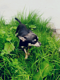 Miniature Chihuahua Girl (Name Monea)