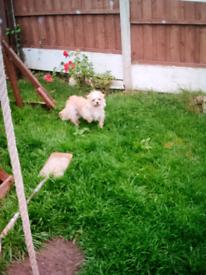 Chihuahua X shitzu puppies