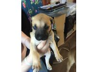 Five mastiff cross ridgeback / Labrador