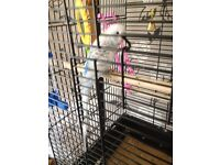 Budgie with cage & stand