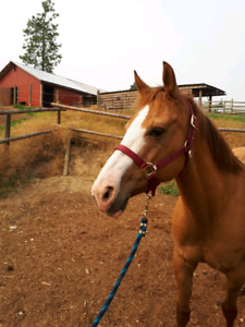 Lovely kids/Trail horse for sale!
