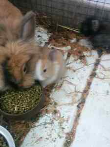 Sold.    Baby bunnys
