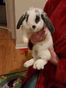 Holland lop 6 month old