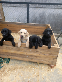 Labrador pups males left
