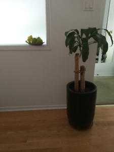 Indoor plant and pot