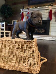 CANE CORSO/Italian Mastiff (Pure) Puppies, Ready for ADOPTION