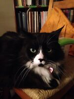 9 year old domestic male cat needs loving home