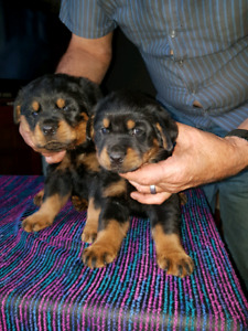 Purebred no papers Rotty pups