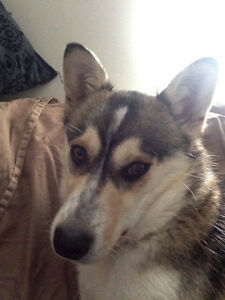 Paws for Love dog rescue has a 1 year old husky cross female