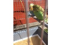 2 baby budgies with new cage (no flight feathers)