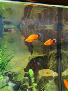 Sunbusrt platy and neon tetra fish for sale