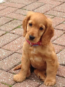 Looking for an English Cocker Spaniel Puppy