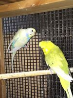Crested Budgies (RARE)
