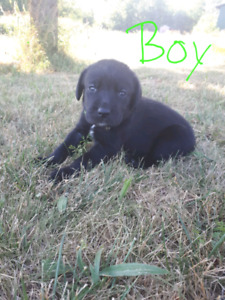 Selling Lab Cross Puppies asking $600