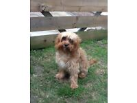 9 month old cavapoo for sale