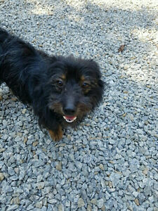 2-year-old scottish terrier mix available for adoption!