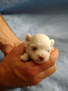 Beautiful maltese** only 3 left **